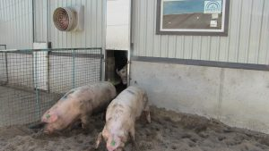 Sows from breeding area acessing outside pen