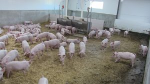 Weaner pigs on straw, note access door to outside on far back LHS of pen
