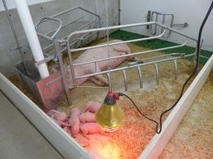 farrowing pen with bedding