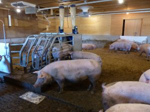 Sows around Gestal feeder