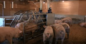 Sow backing out of Gestal feeder