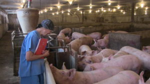 Moffet Farms. Sows at the entrance to one of the Schauer ESF's. A closed herd since 2004 the sows show excellent foot and leg health.