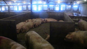 Moffet Farms. One of the bedroom sleeping areas with solid floors that slope toward the slatted alleyway in the smaller pens.