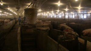 Moffet Farms. The 1200 sow naturally ventilated group sow barn. 16 Shauer ESF's installed in 2004 and are still in use today.