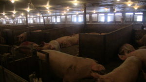 Moffet Farms. 12 pens with 60 sows has 3 bedrooms to sleep/lie in. Four smaller pens have 2 bedrooms.