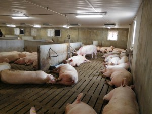 Schlegelhome Farms Inc. sows sleeping at back of the pen