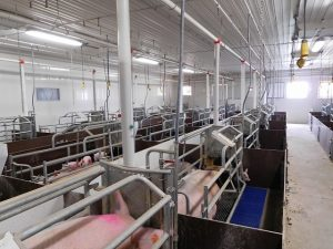 Schlegelhome Farms Inc new farrowing rooms which allowed the space for group sow housing renovation in the old farrowing room wing