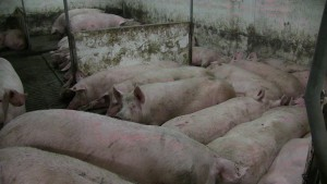 Sows sleeping in large pen that has 2 ESF units.