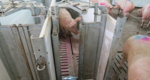 Sows walking through newly installed Schauer ESF at Agri-Marche barn