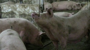 Sow using using enrichment device at Agri-Marche barn