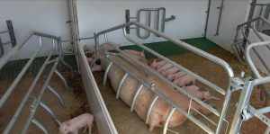 Farrowing pen with pigs