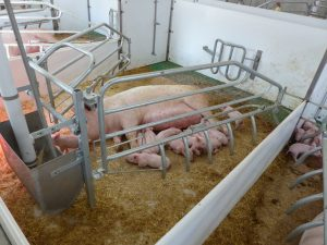 80 sq ft farrowing pen with bedding