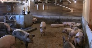 Bred sows in one of 3 gestation pens on bedding (switchgrass)