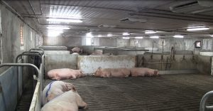 Schlegelhome Farms Inc ESF exit chute to closed off sort area. Note drinkers/water trough
