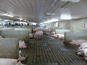 Schlegelhome Farms Inc wide alleyway, sleeping area on fully slatted floor