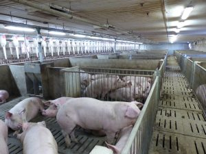 Schlegelhome Farms Inc sows in breeding/ weaning area before being moved to loose housing.