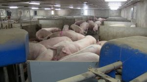 Schlegelhome Farms Inc one side of group sow housing layout