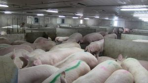 Schlegelhome Farms Inc sows lining up for ESF feeder