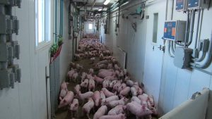 Schlegelhome Farms Inc moving the weaner pigs