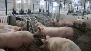 HyLife-Rosco Farm Gestation area gilts accessing feeders. Note RFID eat tag in each ear