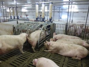 HyLife-Rosco Farm Gestation area gilts accessing feeders