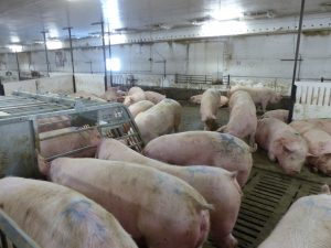 HyLife-Rosco Farm pen of new gilts