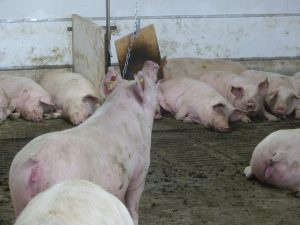 HyLife-Rosco Farm Gestation sow enrichment