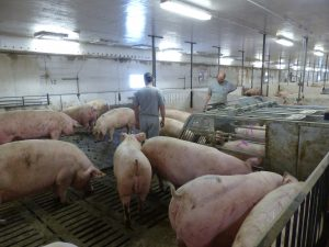 HyLife-Rosco Farm looking for gilts needing to be trained