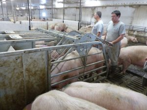 HyLife-Rosco Farm success using feed to train gilt to enter feed stall