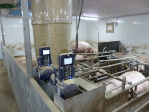 Ferme porcine L.V. Inc. Gestal 3G feeders in new barn addition that was part of the conversion process.