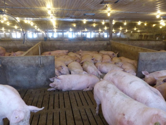 Moffet Farms. One of the bedroom sleeping areas full of sows. Water drinkers are on the outside of the bedroom pens.