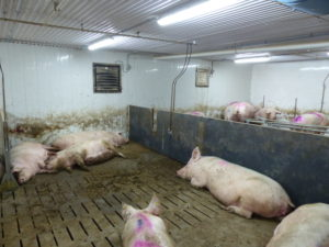 Ferme porcine L.V. Inc. Pen partitions and sleeping area in the new addition. Note walk thru gate.