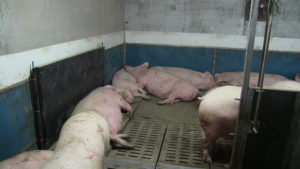 Ferme porcine L.V. Inc. Sleeping areas with solid floor, pen partitions with water nipples and sorting gate to separate sows.