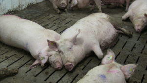 Ferme porcine L.V. Inc. Not all sows lie on the solid floors