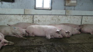 Ferme porcine L.V. Inc. Sloped solid floor sleeping area with curb to help keep it clean.