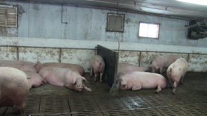 Ferme porcine L.V. Inc. Nipple drinkers at end of partitions with out guards may be causing injury to sows.