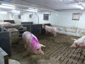 Ferme porcine L.V. Inc. The new addition has walk thru gates in each pen area.