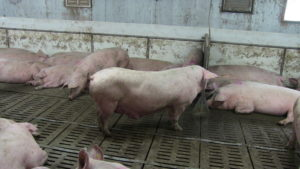 Ferme porcine L.V. Inc. Sow drinking for for nipple drinkers with guards.