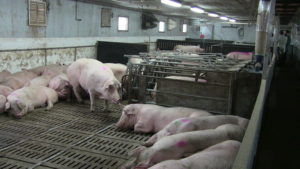 Ferme porcine L.V. Inc. Group sow housing barn that was renovated with Gestal 3G feeders.