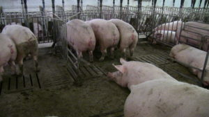 Mountain Vista. There is extra trough space in each pen.