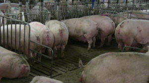 Mountain Vista. Some sows will move from shoulder stall to shoulder stall before finishing all the ration in front of them.