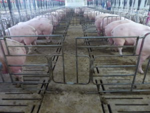 Mountain Vista. Walk-thru gates allow staff to walk the entire row of pens. All the penning is reconfigured sow stalls.